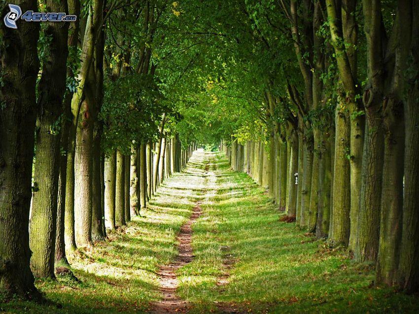 chodník, stromová alej