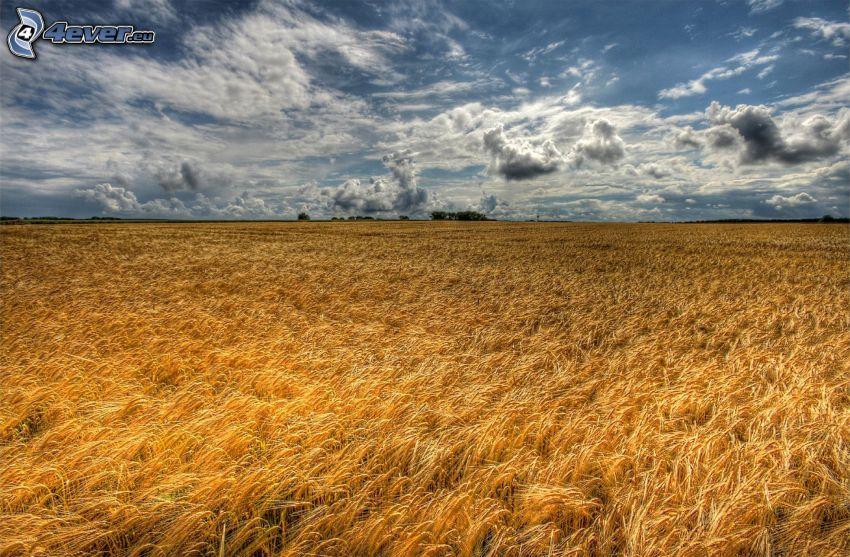 dozreté pšeničné pole, oblaky, HDR