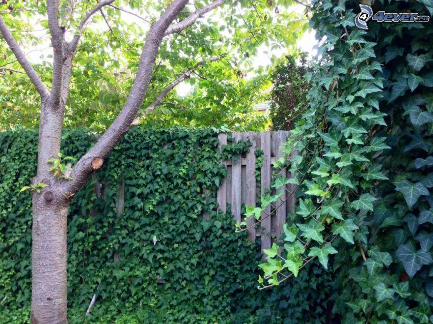 drevený plot, strom, brečtan