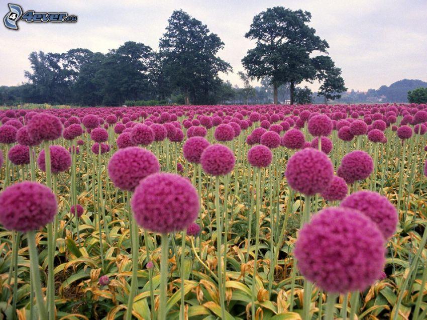 fialové kvety, pole