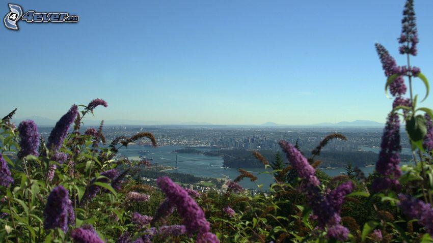 fialové kvety, Vancouver