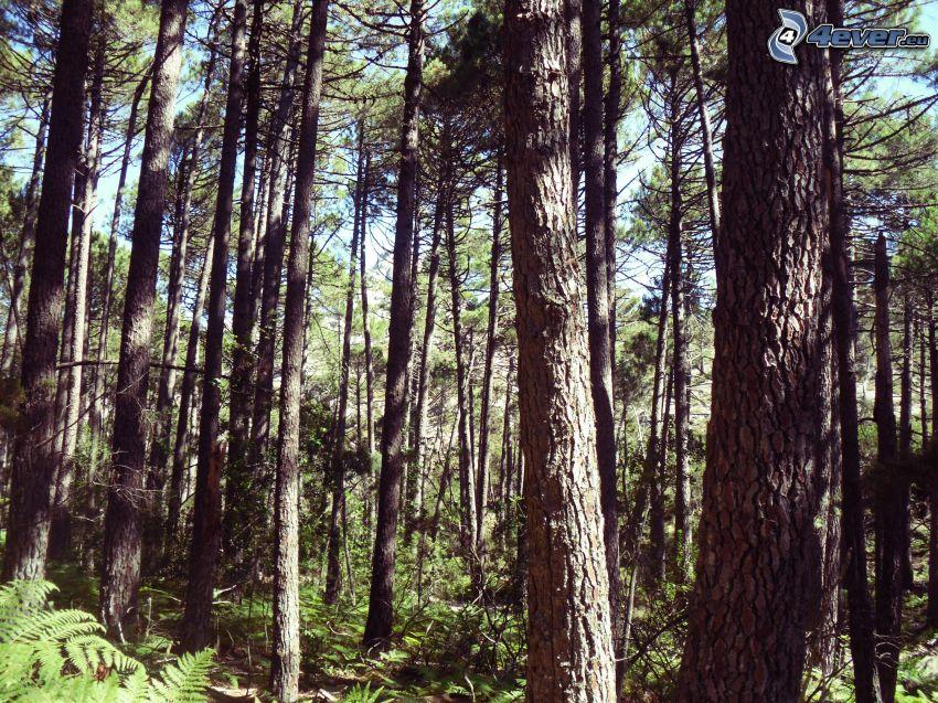 ihličnatý les, borovica