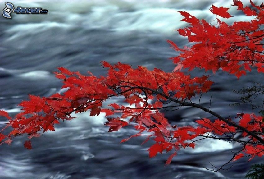 konár, červené listy, voda