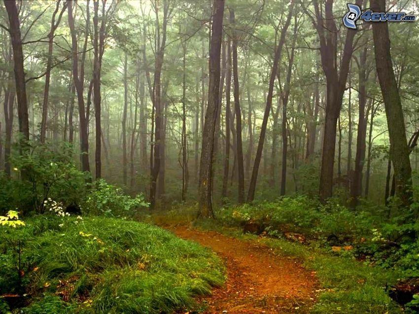 chodník cez les, stromy, tráva
