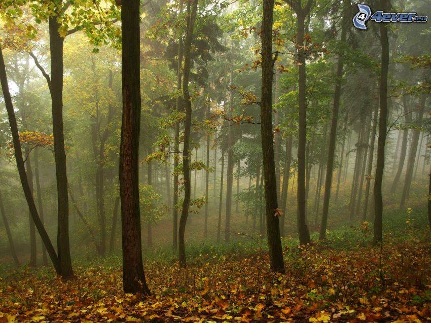 farebný les, žlté lístie, hmla, jeseň