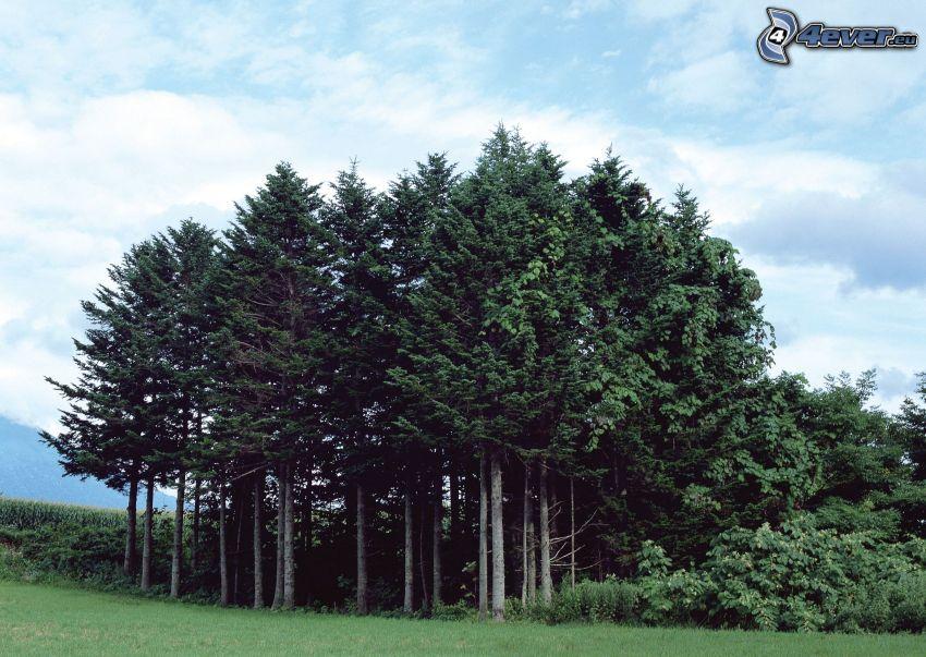 ihličnatý les, lúka, oblaky