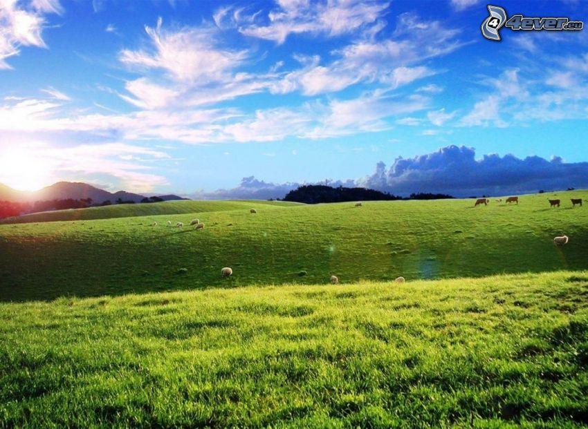 lúka, ovce, kravy, zelená tráva, západ slnka za kopcom