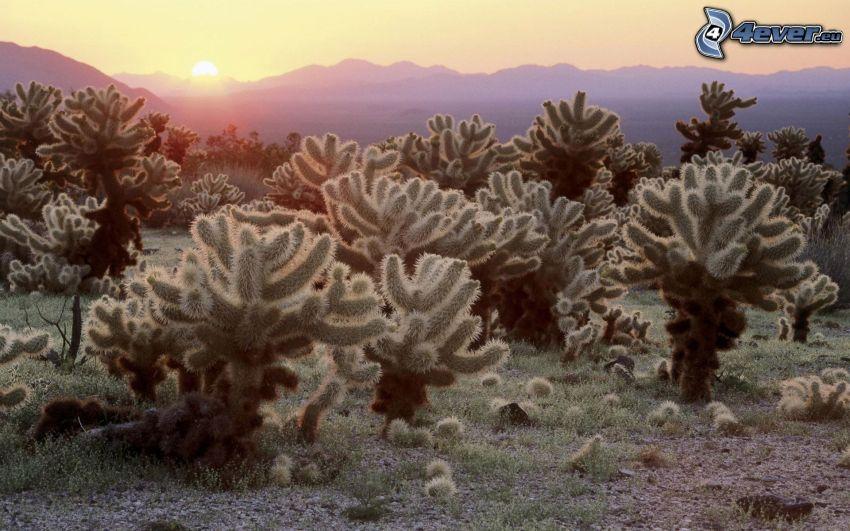 Národný park Joshua Tree, kaktusy, východ slnka