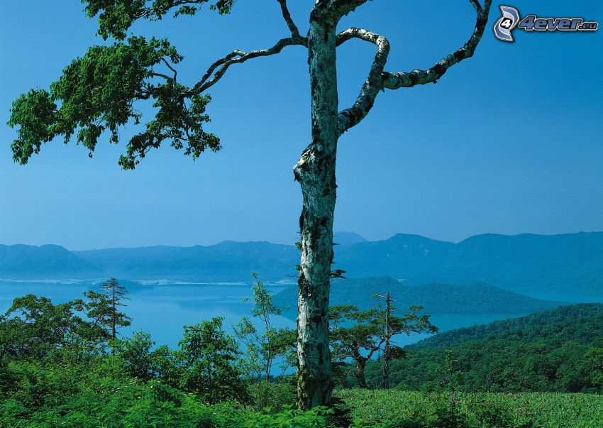 osamelý strom, jazero, les