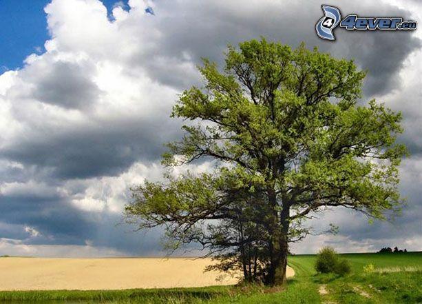 strom nad poľom, lúka, oblaky