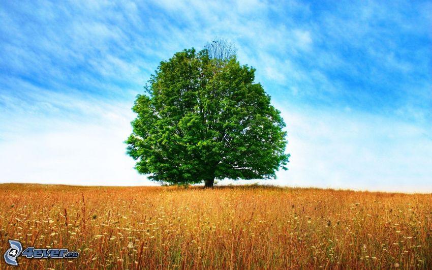 strom nad poľom, mohutný strom, obloha, lúka, vysoká tráva