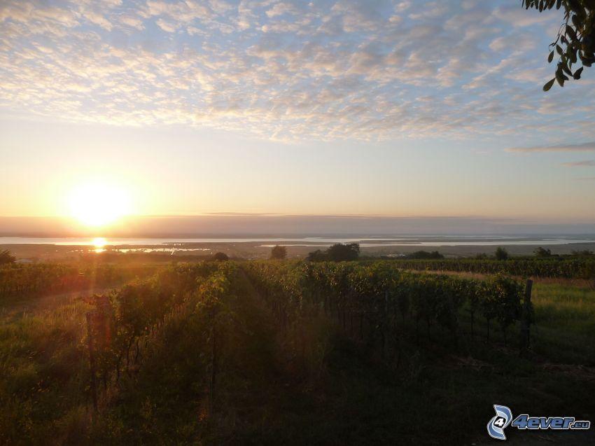 východ slnka, Neziderské jazero, vinohrad, oblaky