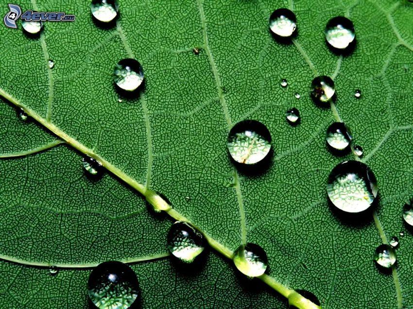 kvapky vody, zelený list