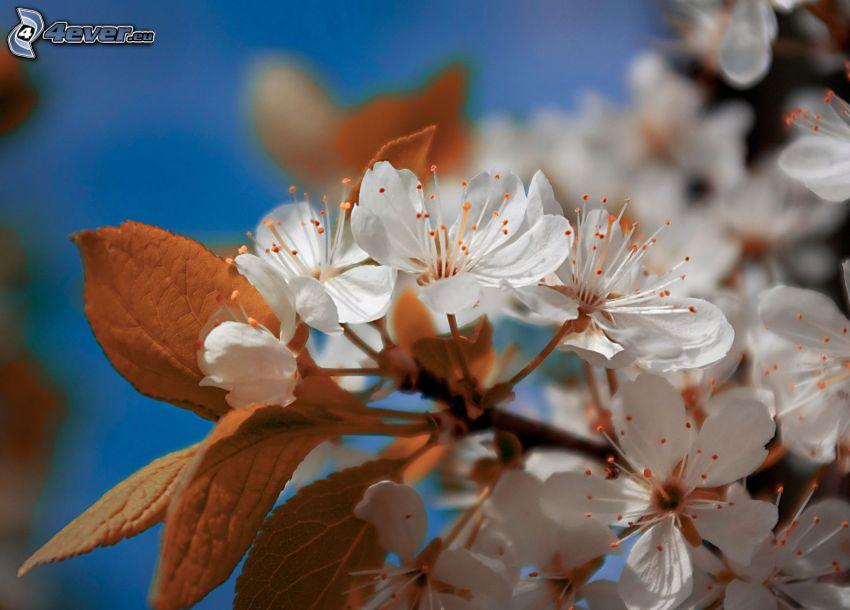kvitnúci konárik, biele kvety