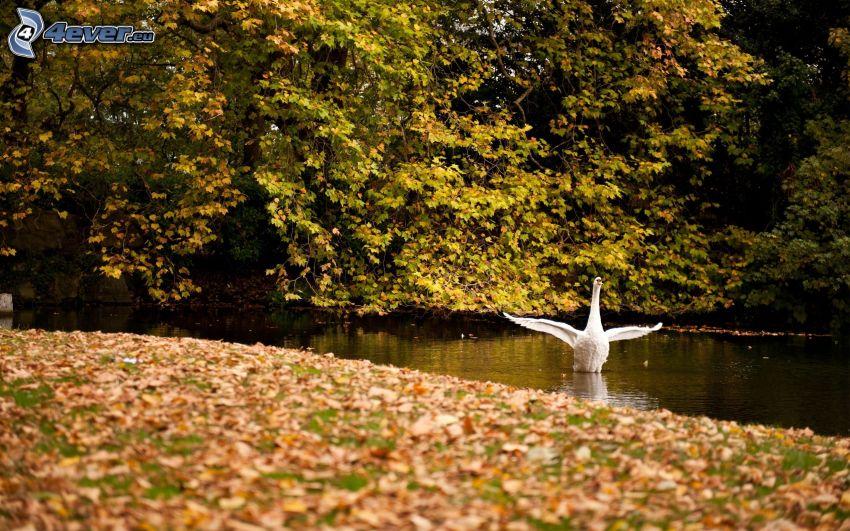 labuť, rieka, stromy, jesenné listy