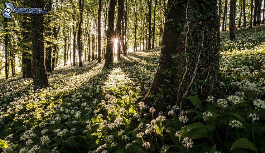 les, medvedí cesnak, západ slnka v lese, biele kvety