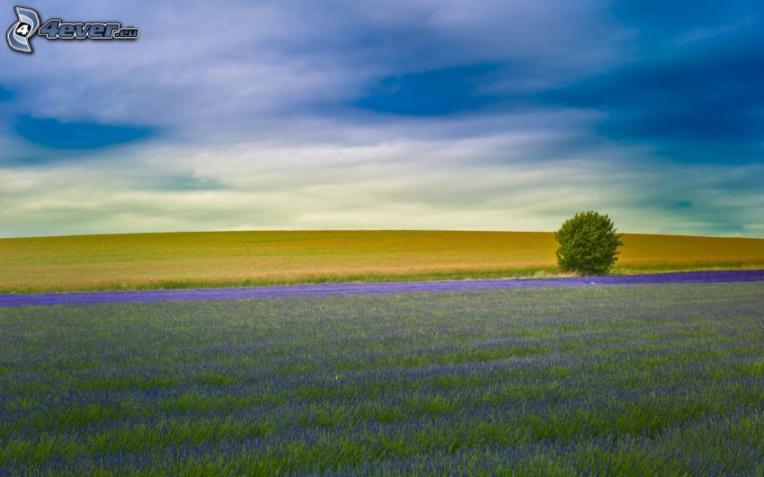 levanduľové pole, lúky, osamelý strom
