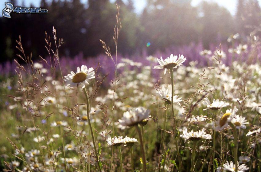 lúka, poľné kvety, sedmokrásky
