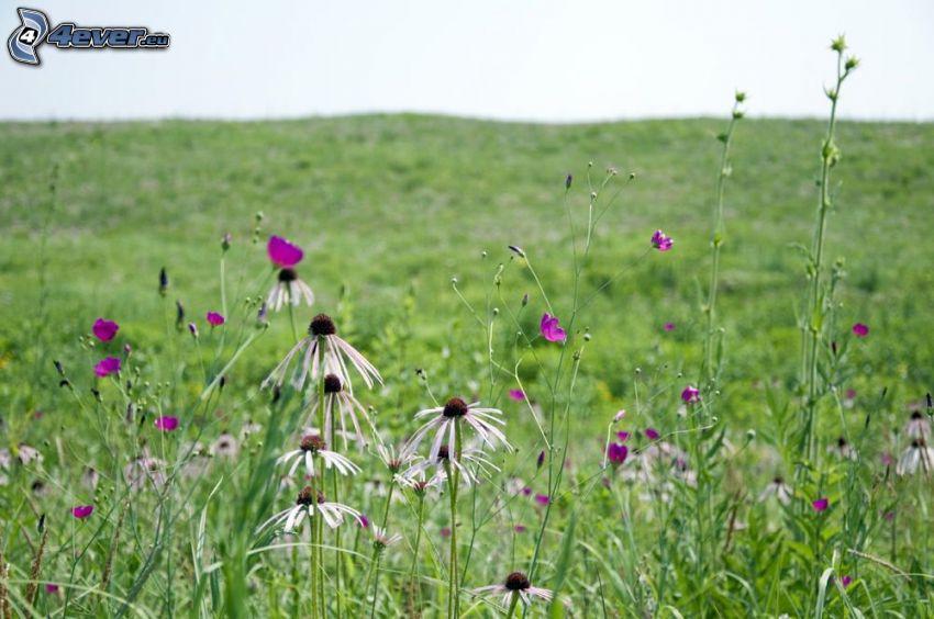 lúka, poľné kvety