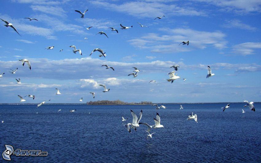 čajky, more, kŕdeľ vtákov, ostrov