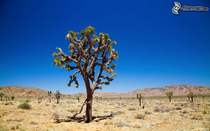 Národný park Joshua Tree, osamelý strom, strom na púšti