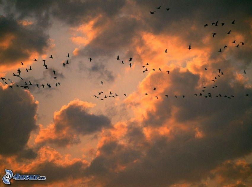 kŕdeľ vtákov, oranžové oblaky
