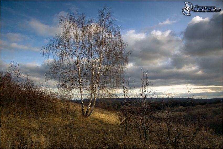 opadaný strom, breza