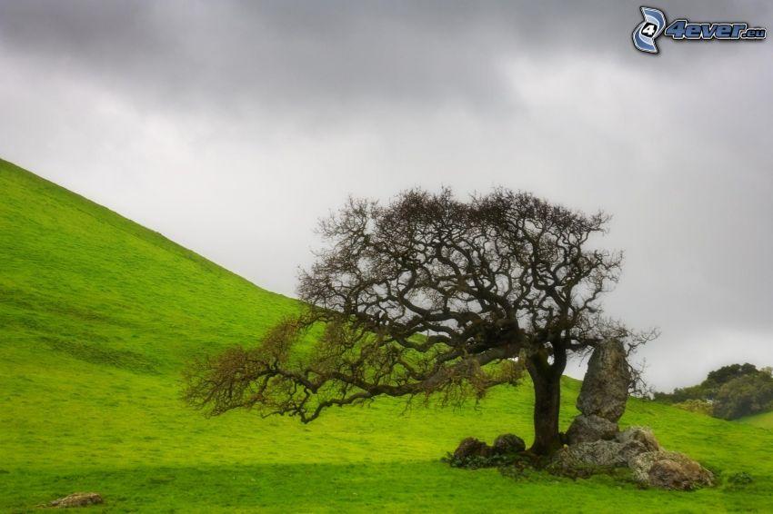 osamelý strom, zelená lúka, obloha