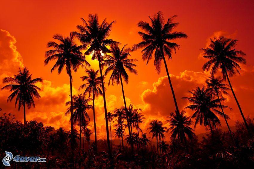 palmy, oranžová obloha