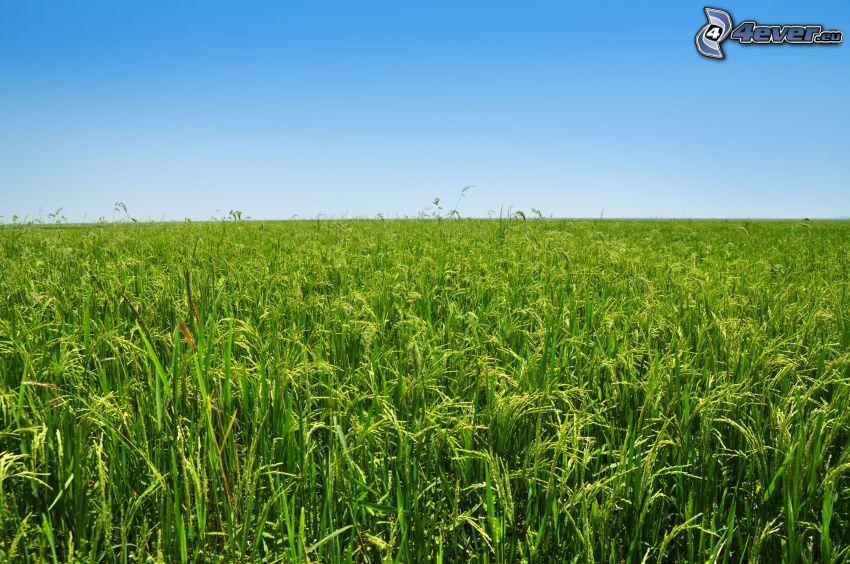 pole, vietnamské ryžové polia