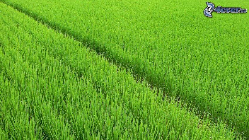 pole, zeleň