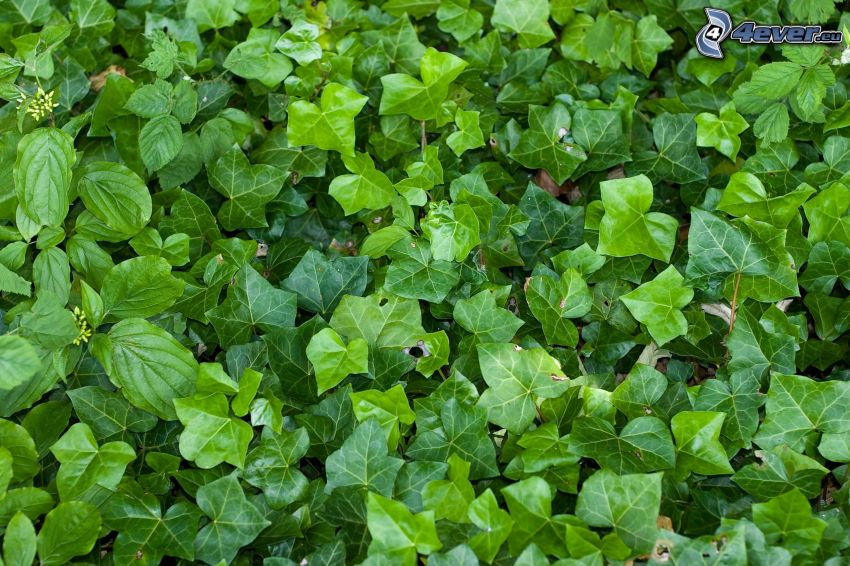 brečtan, zelené listy