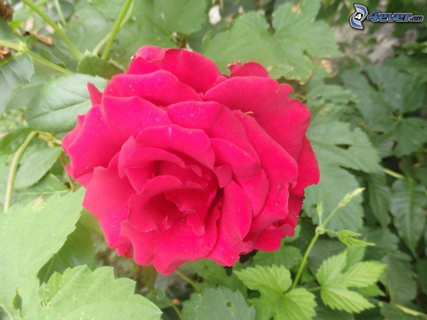 červená ruža