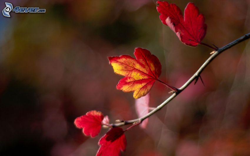 červené listy, konárik