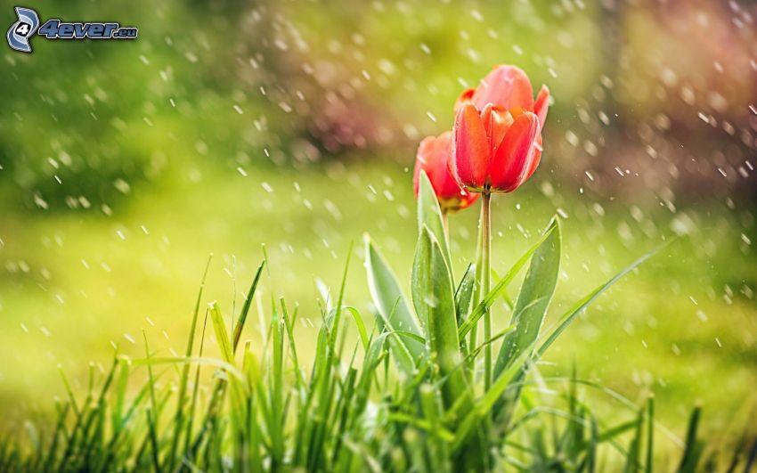červené tulipány, dážď