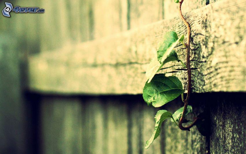 drevený plot, brečtan