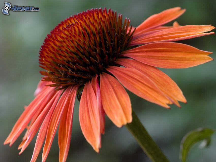Echinacea, oranžový kvet