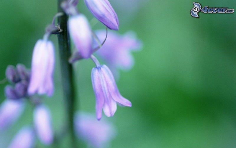fialové anglické zvončeky