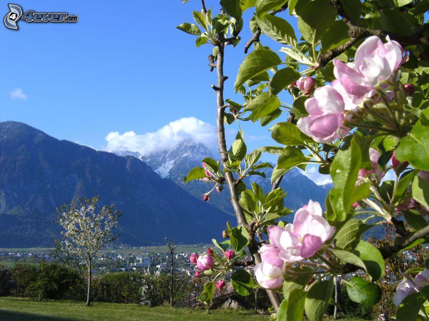 fialové kvety, Rakúsko, veľhory