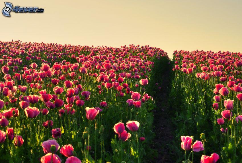 fialové tulipány, pole