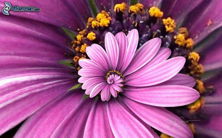 fialový kvet, špirála