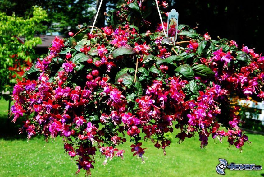 Fuksia, červené kvety