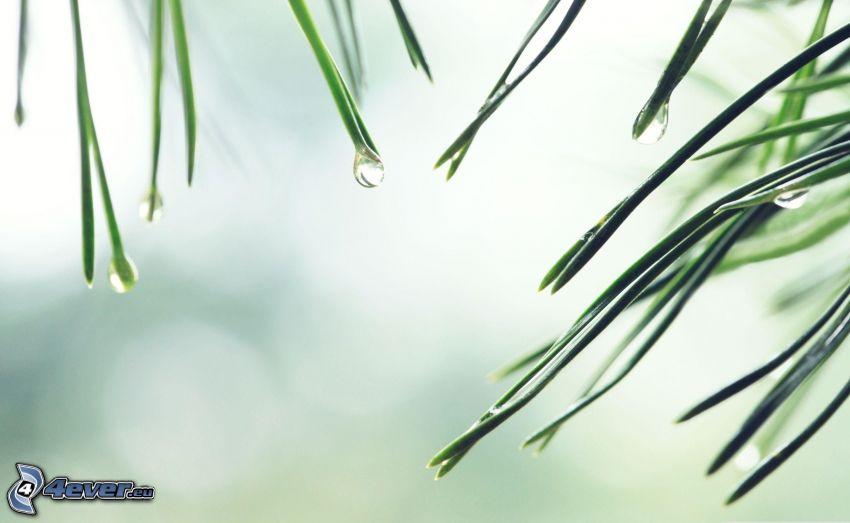 ihličie, kvapky vody, borovica