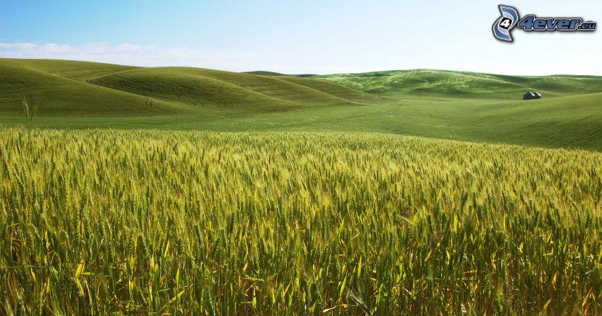 jačmeň, pole