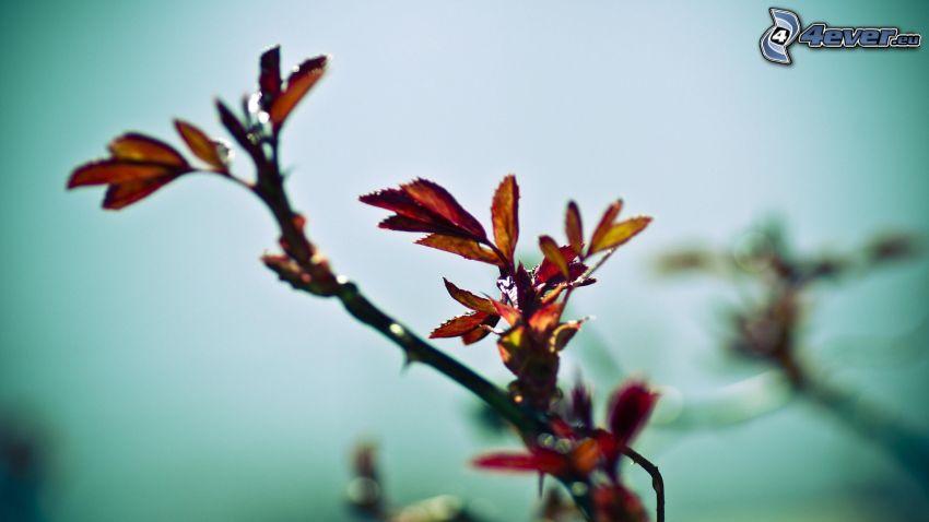 konárik, červené listy
