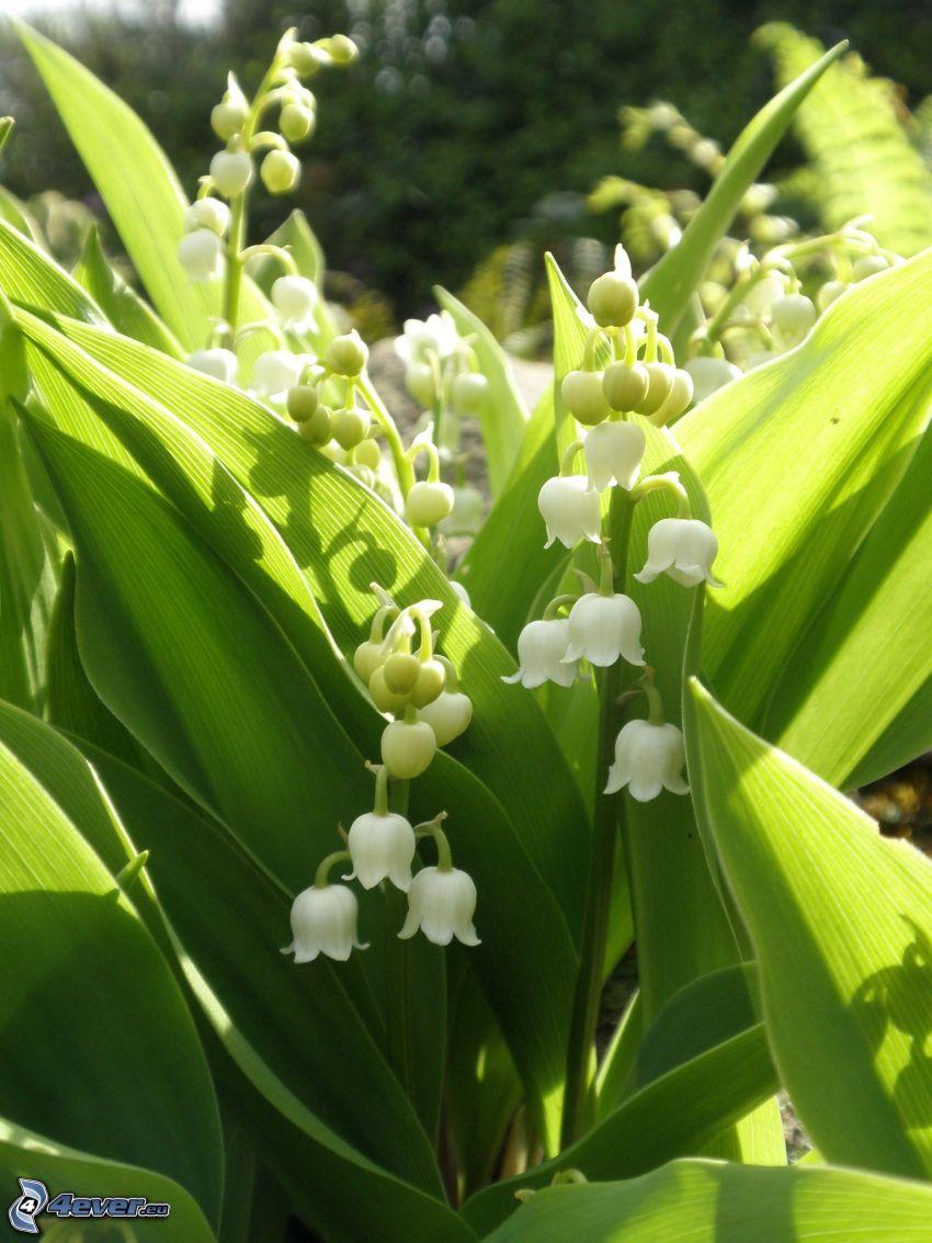 konvalinky, biele kvety