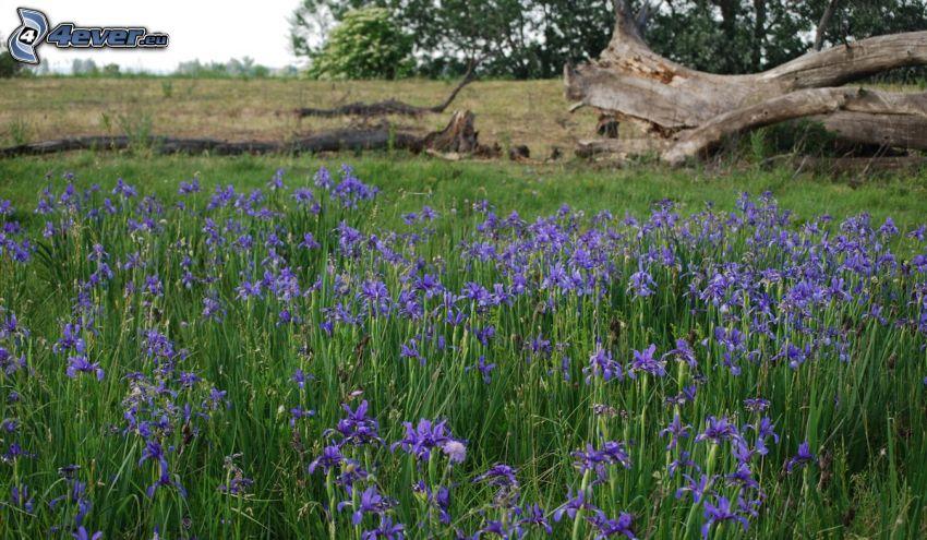 kosatec sibírsky, fialové kvety, lúka, peň