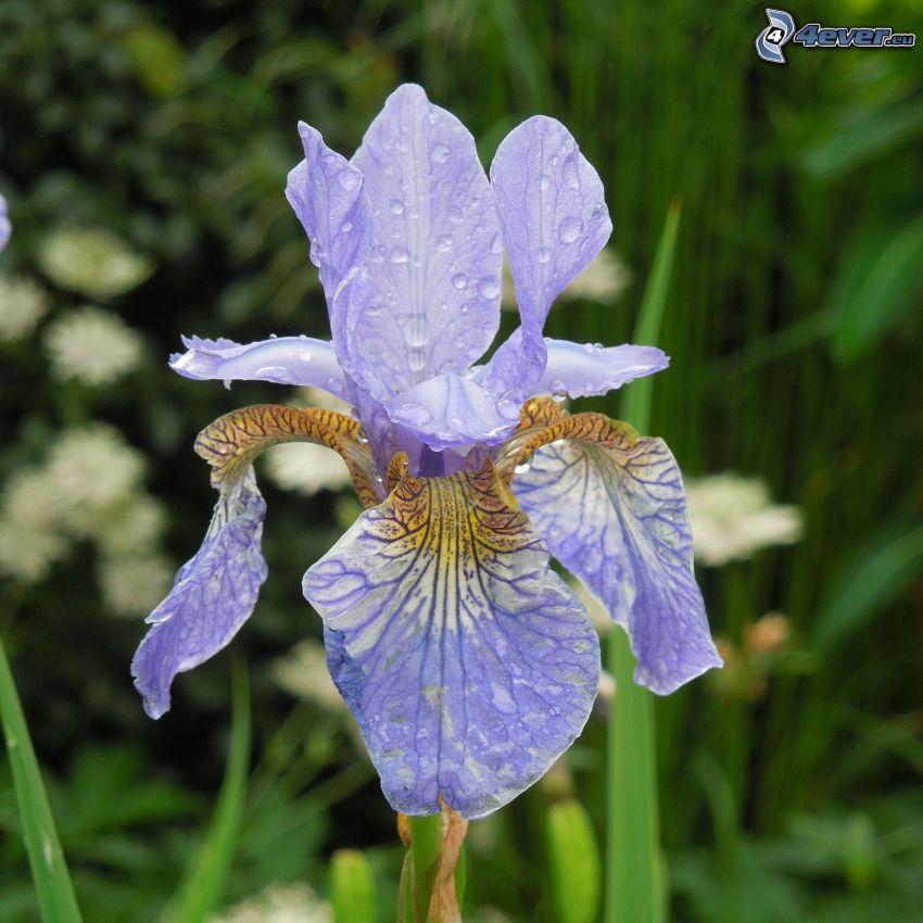 kosatec sibírsky, fialový kvet