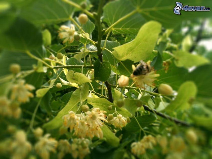 lipa, včela