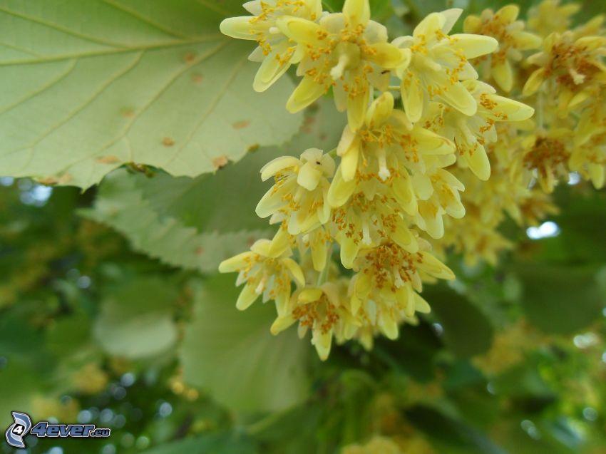 lipa, žlté kvety